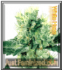 White Haze Just Feminized Mix & Match Seeds